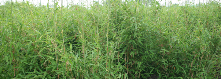 Bamboehaag