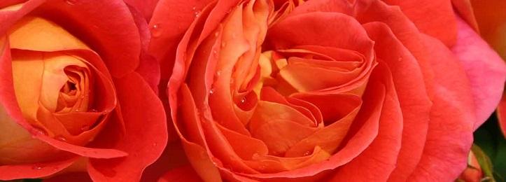 Nostalgische rozen