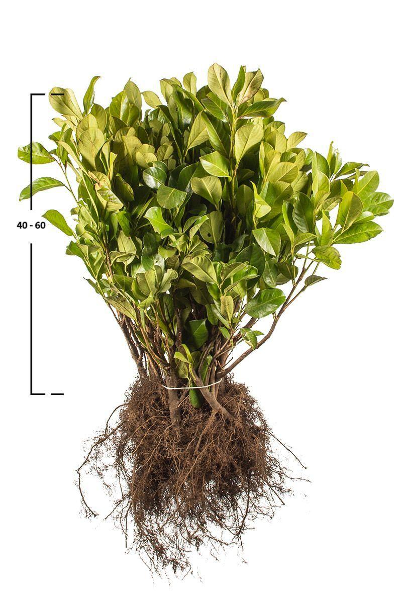 Laurier 'Rotundifolia'