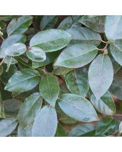 Olijfwilg haag, zilverbes (Elaeagnus)