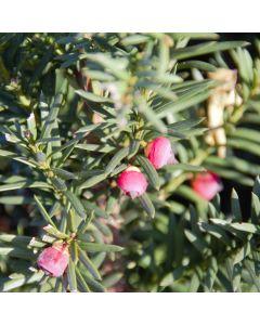 Taxus Hicksii (met besjes)